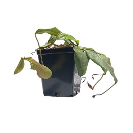 NEPENTHES  LOUISA GREEN