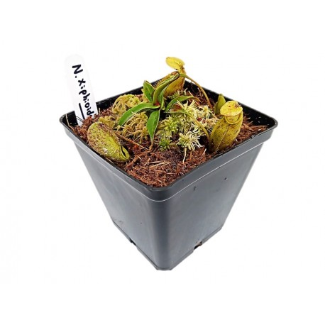 NEPENTHES XIPHIOIDES